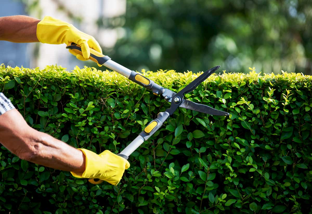 how to trim hedges