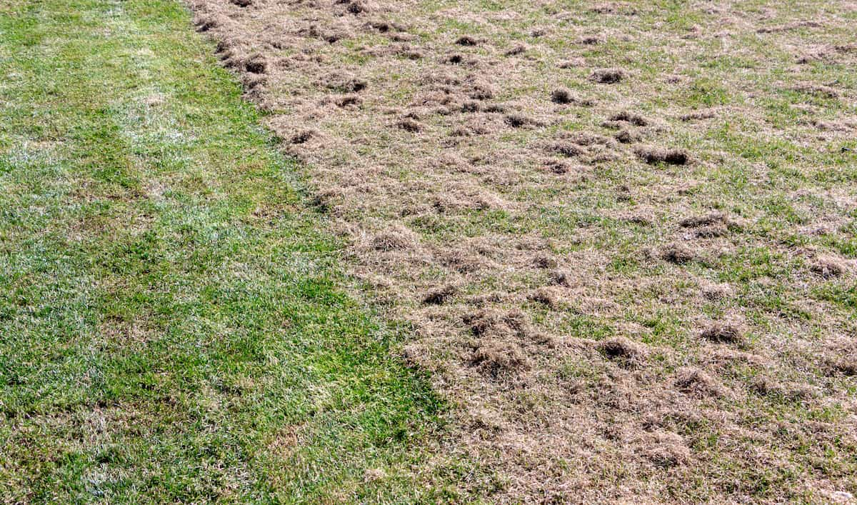 Grass after aeration