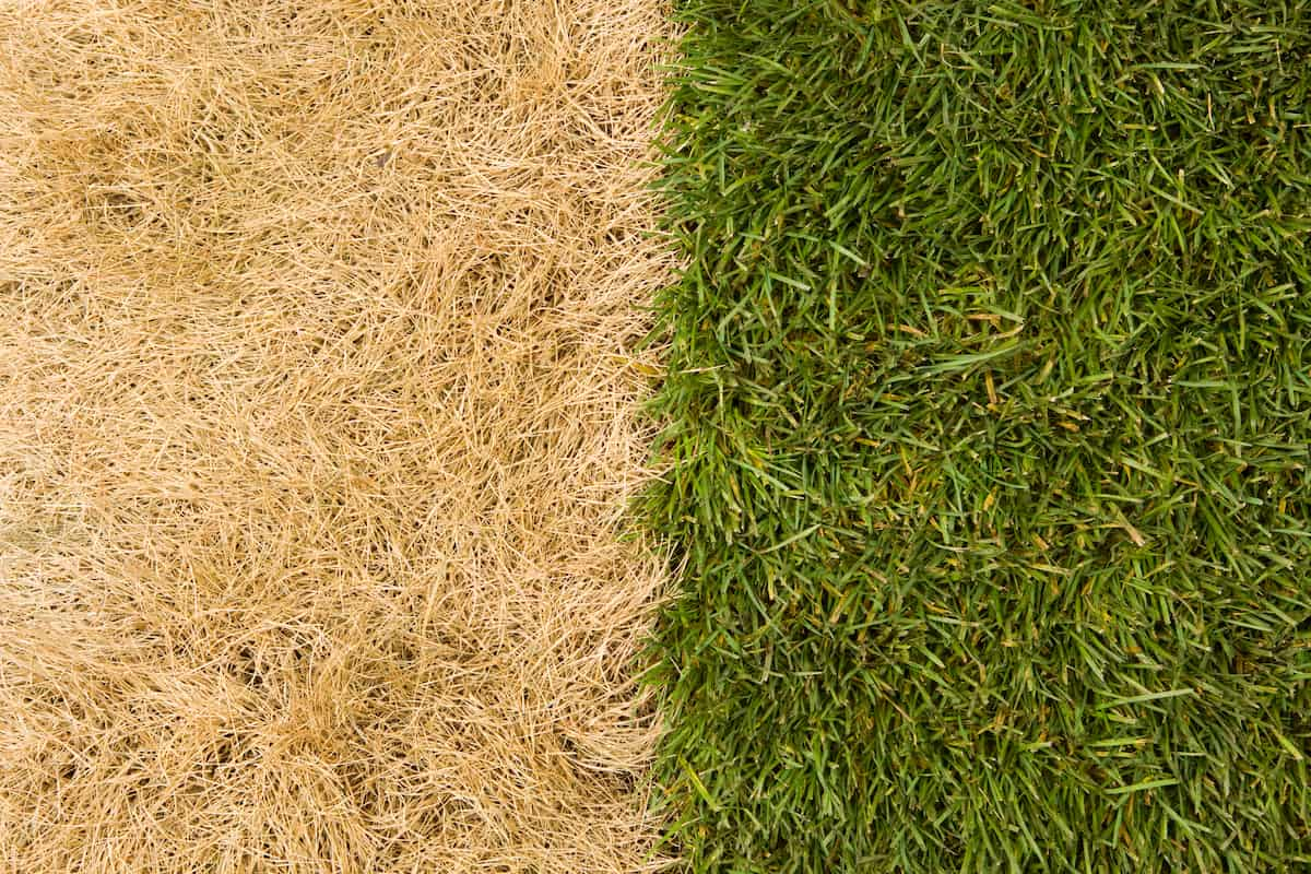 how to make dead yellow grass green again