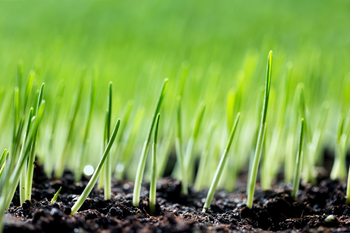 how to make grass grow from seed