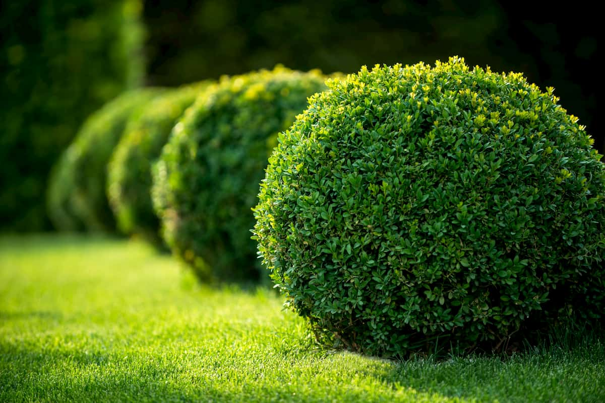 how to make bushes round