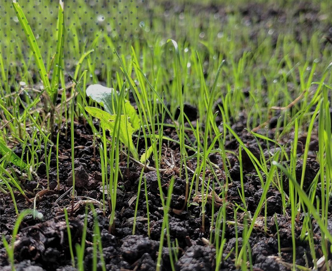 How do I plant my grass?