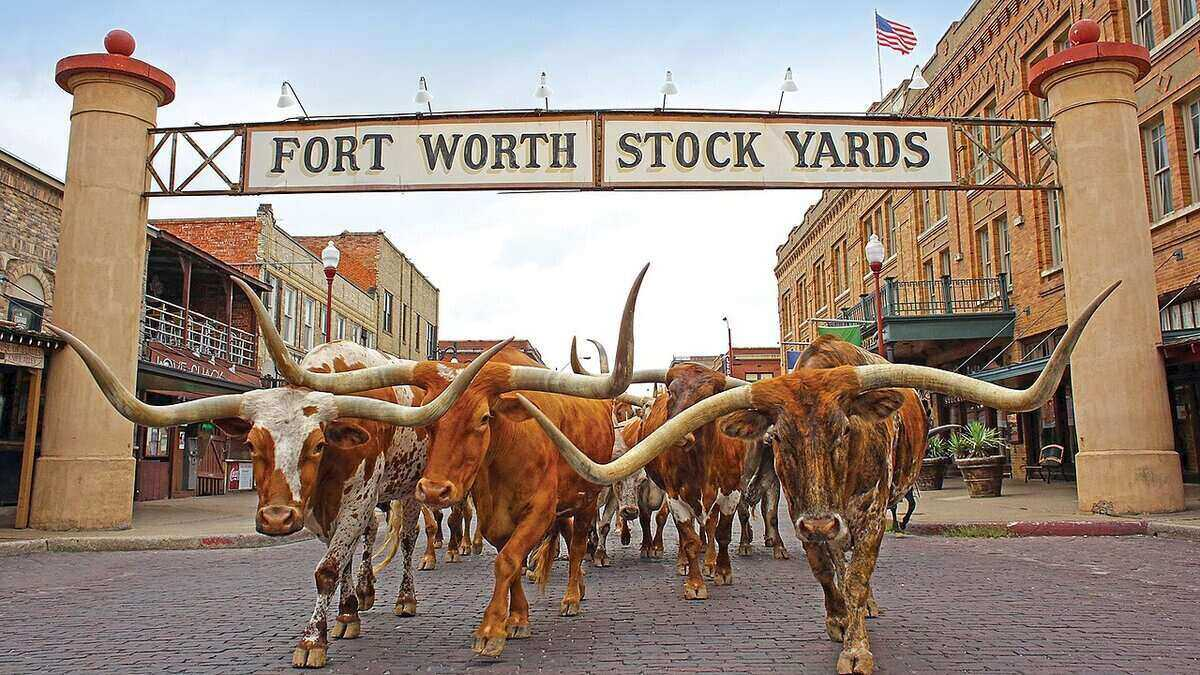Longhorns walking down the center of the street in Fort Worth, with a sign above them that reads: Forth Worth Stock Yards.
