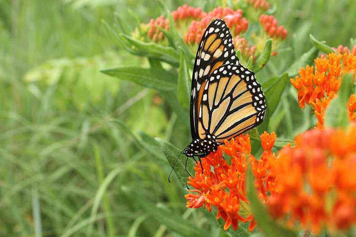 Monarch butterfly sitting on bright orange butterfly weed