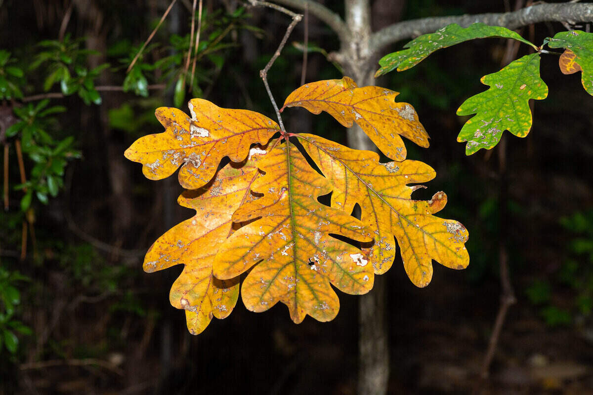 Gold and green white oak leaves