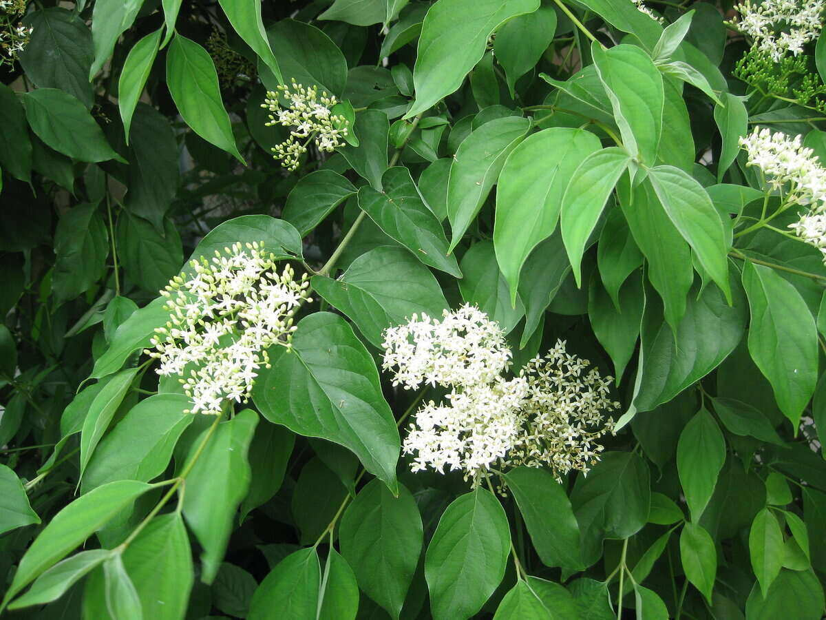 Gray dogwood white flower bunches surrounded by green leaves
