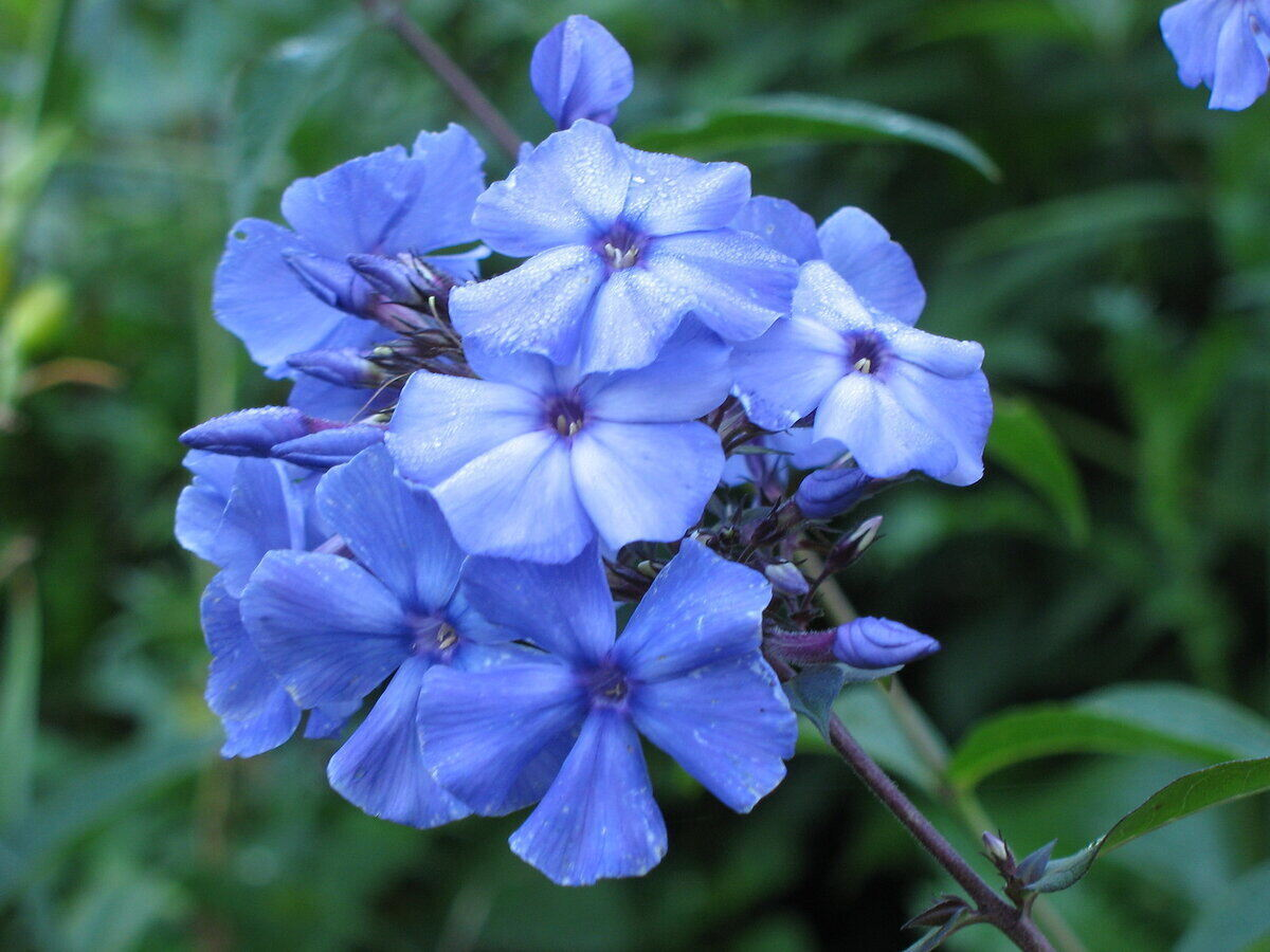 Close-up of a cluster of wild blue phlox flowers