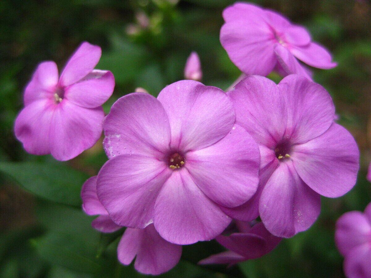 light purple petals from a flowering Phlox plant
