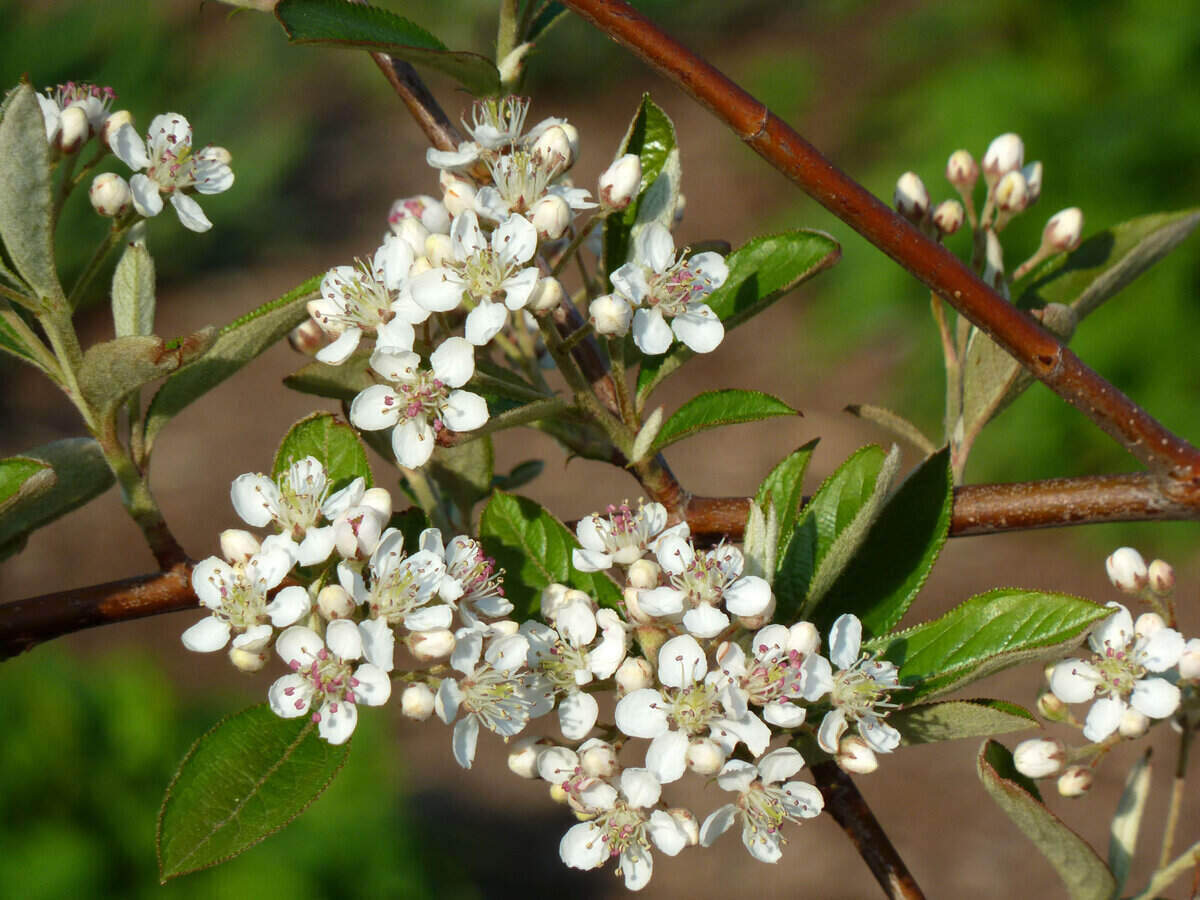 Clusters of small white flowers from a red chokeberry shrub