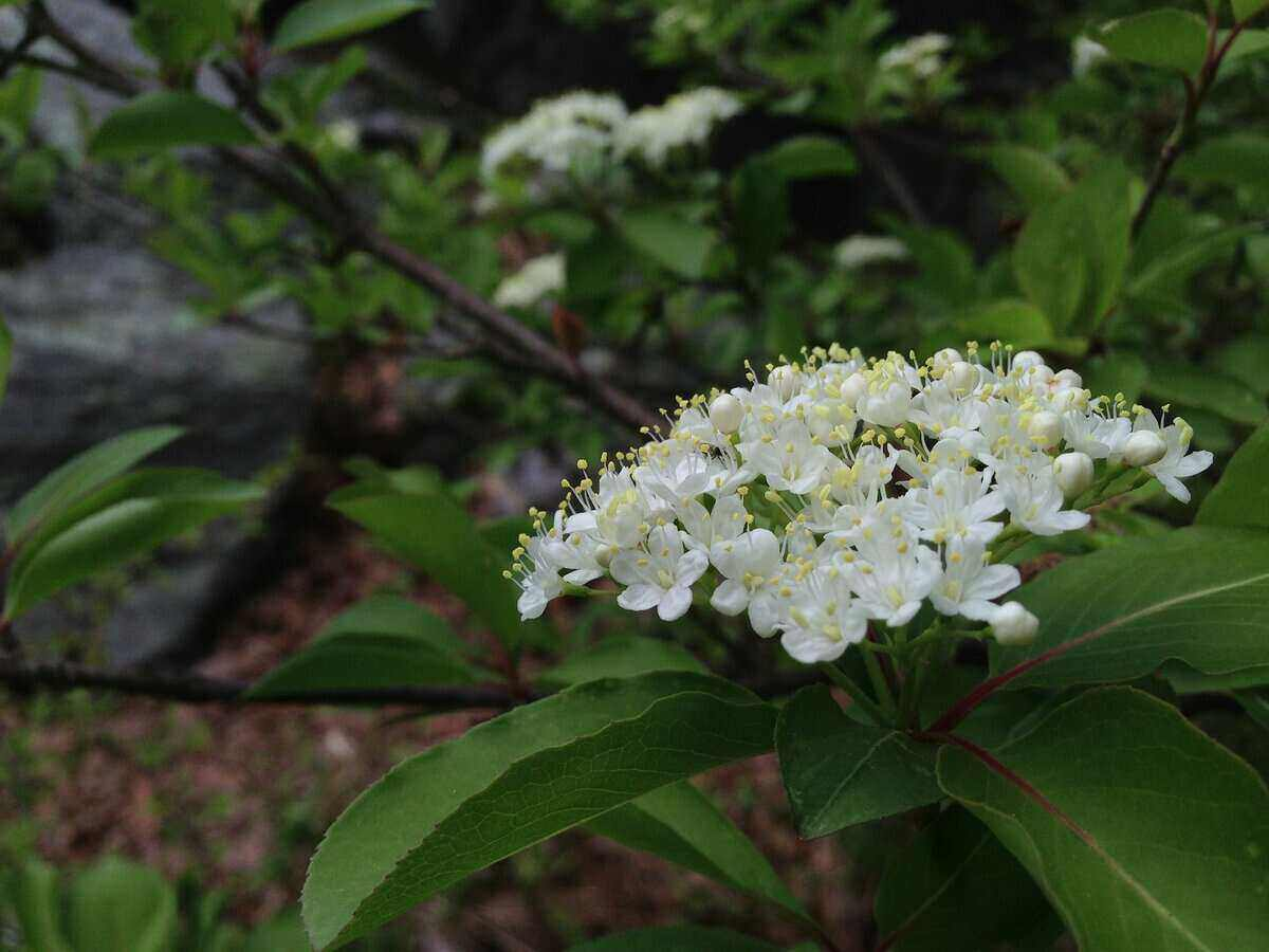 Large cluster of small white flowers from a blackhaw viburnum shrub