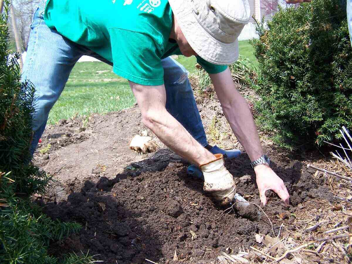 Man bent over planting spring bulbs in his flower bed