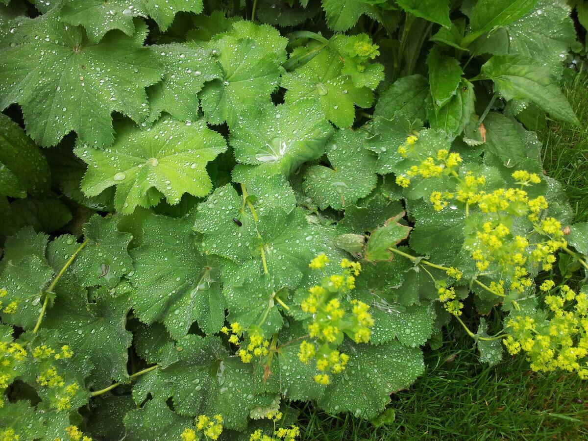 Close-up of water droplets on a patch of lady's mantle leaves and flowers
