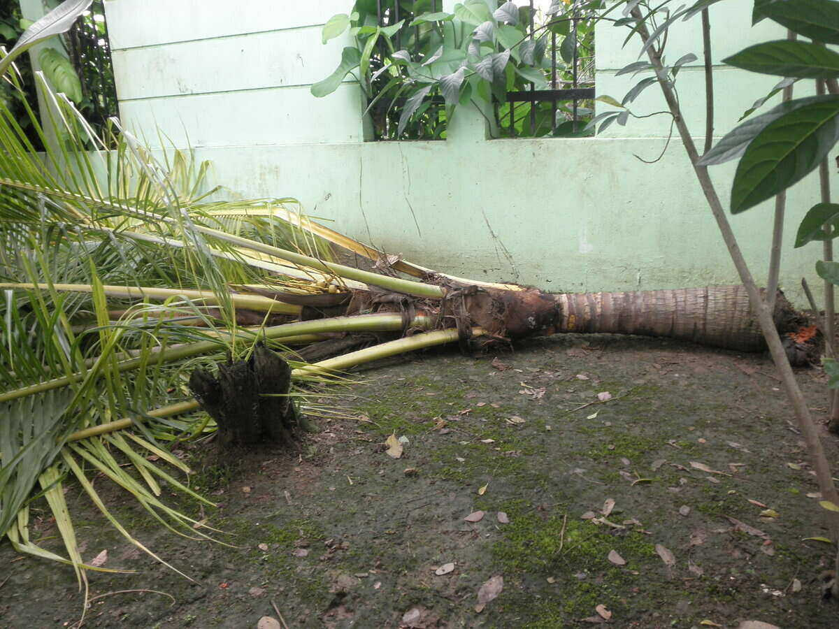 a fallen mature coconut palm next to a house
