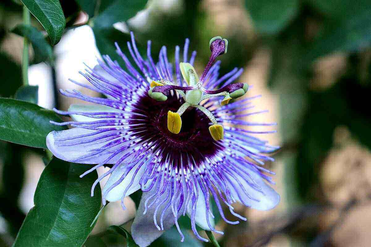 Purple passion flower vine is a hurricane-resistant plant perfect for yards in Jacksonville, Florida.