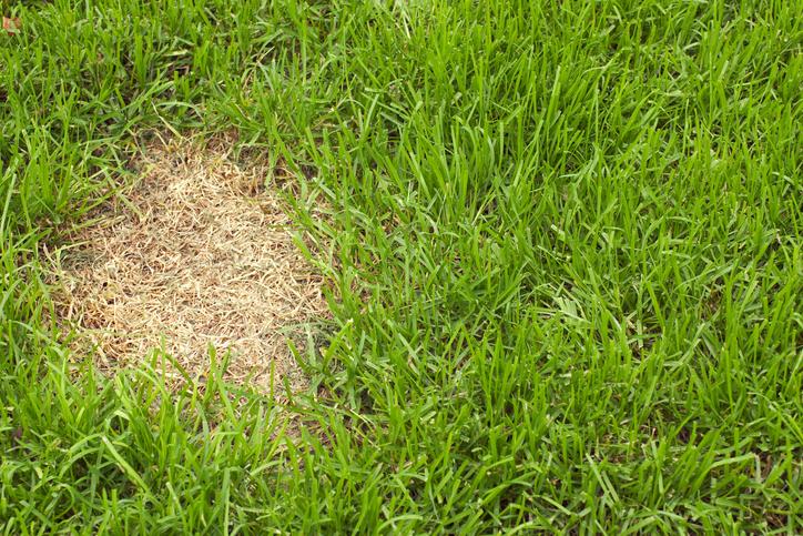 Lawn Fungus Lawn Love
