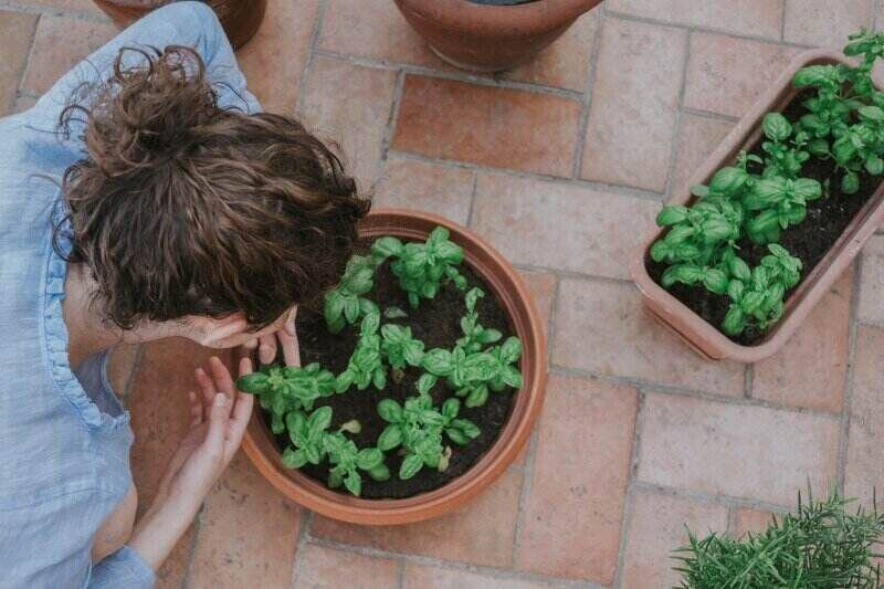overhead shot of a woman planting basil into outdoor potted containers