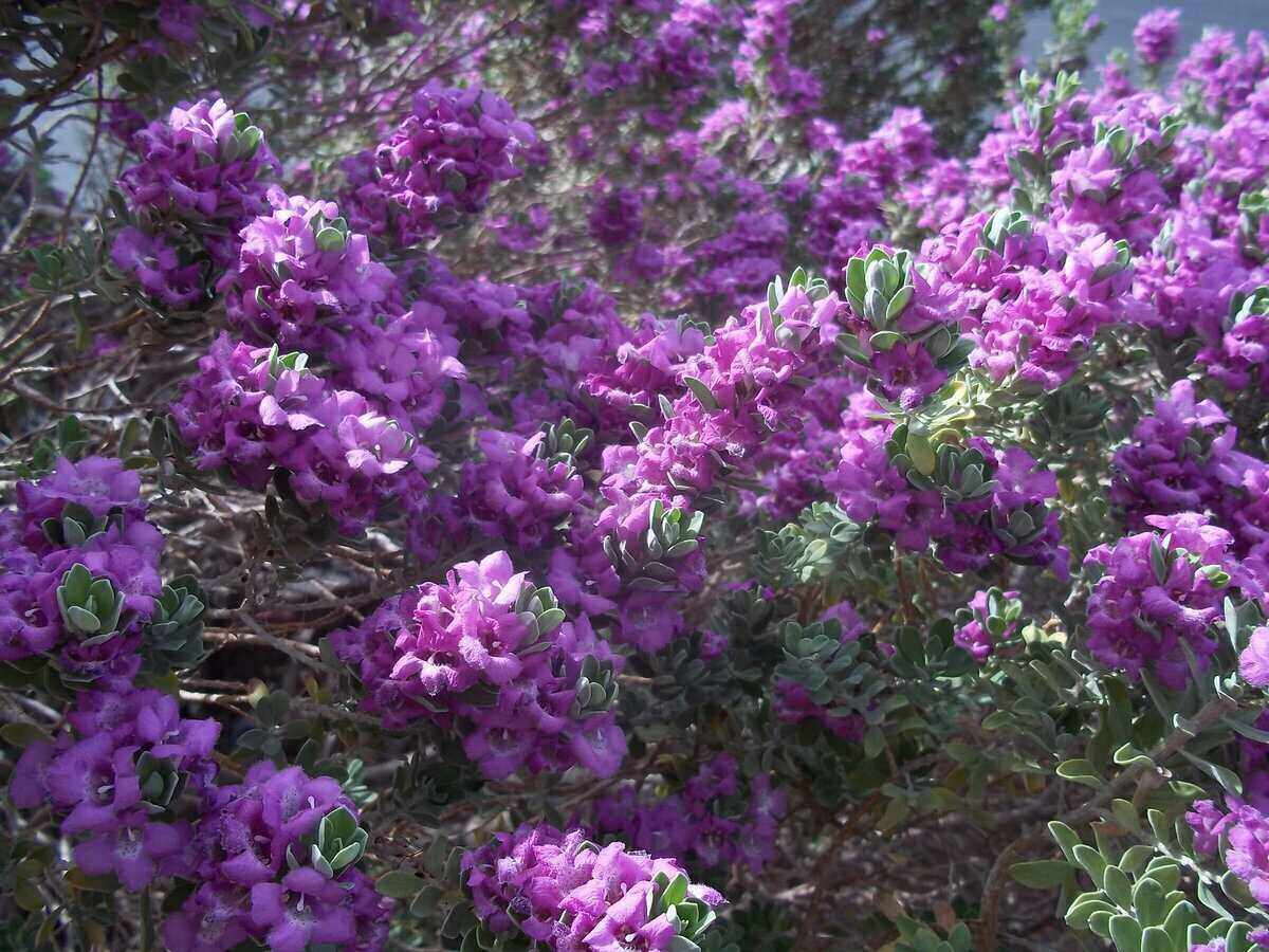 Vibrant clusters of Texas purple sage