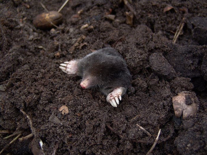 How to Get Rid of Moles and Gophers