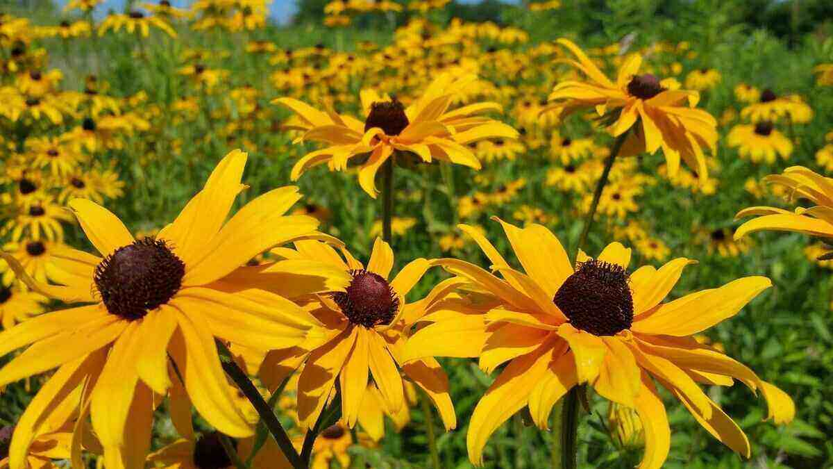 Field of black-eyed susans, yellow flowers with brown/black center.