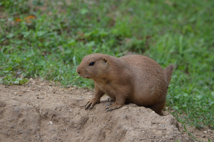 You can determine that you have a gopher problem by the horseshoe-shaped mounds they create. So, how do you humanely rid your property of these animals?
