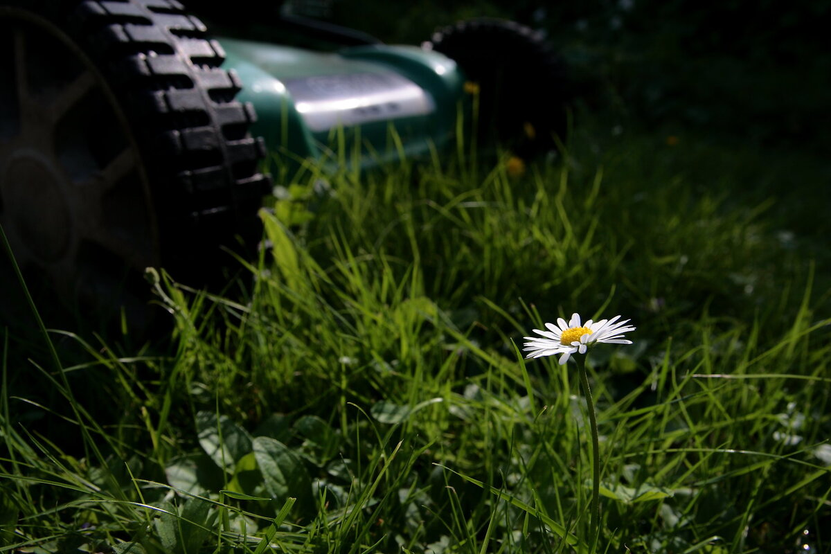 Close-up of a lone white flower in front of a lawn mower