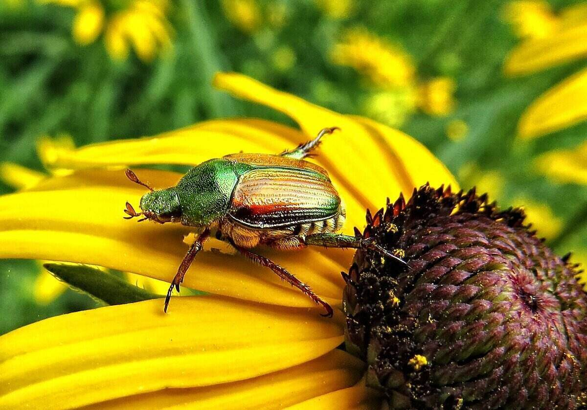 Close-up of a Japanese Beetle eating a bright yellow sunflower