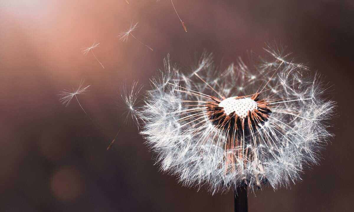 Dandelion with seeds blowing in the wind. Weeding is a spring lawn care task for homeowners.
